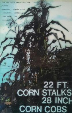 22 ft Corn Stalk!