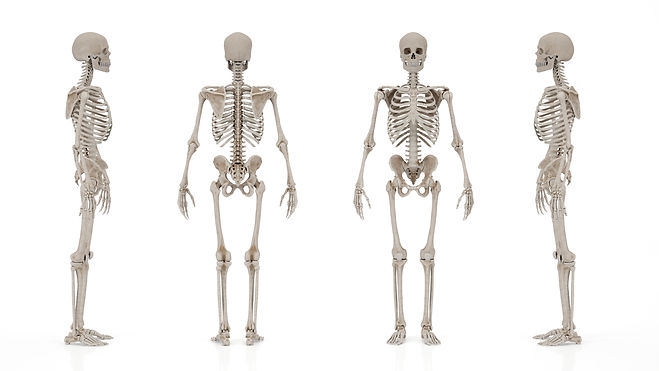 skeletal system image from different ang