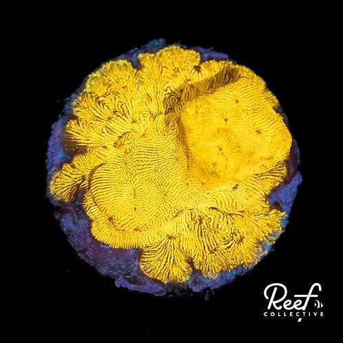 24k Gold Leptoseris