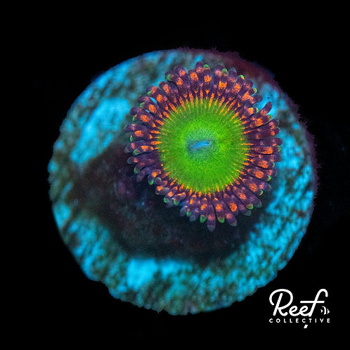Candy Apple Red Zoa