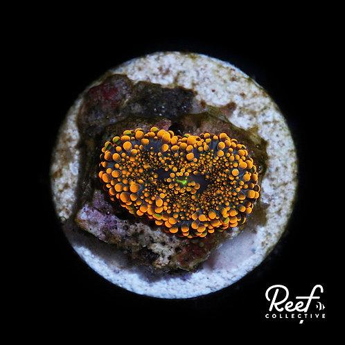Yuma Mushroom