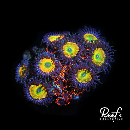 Sunny Ds and Twizzler Zoa Combo