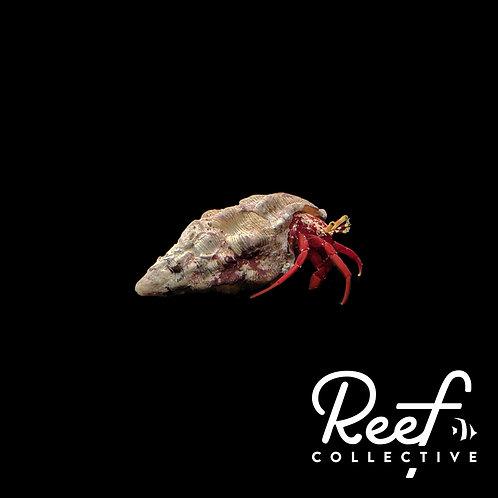 Scarlet Hermit Crab