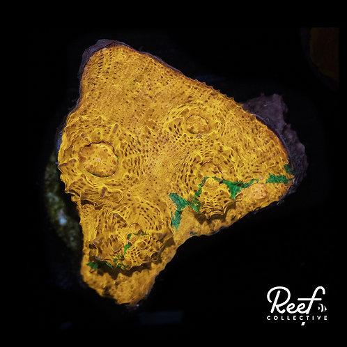 Reef Co. Goldenboy Chalice