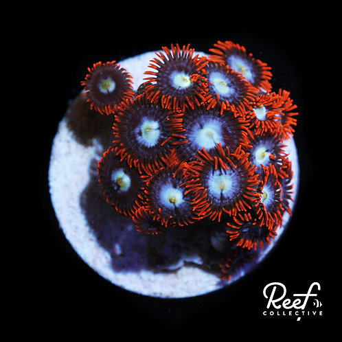 Fire and Ice Zoa