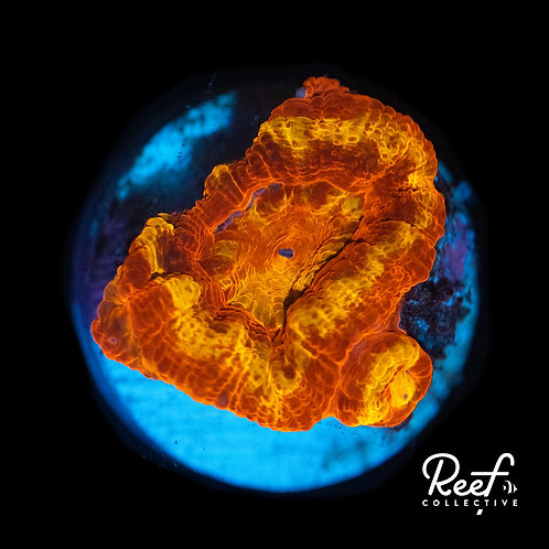 Reef Co. Ironman Acan