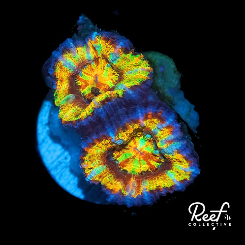 ReefCo. AfterGlo Acan