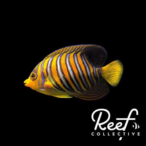Regal Angelfish - WYSIWYG