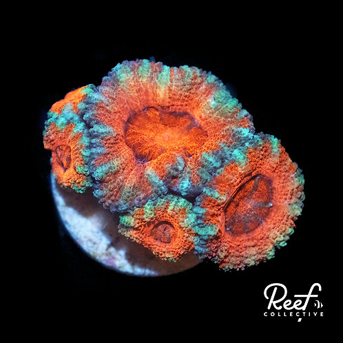 Pretty In Pink Acan