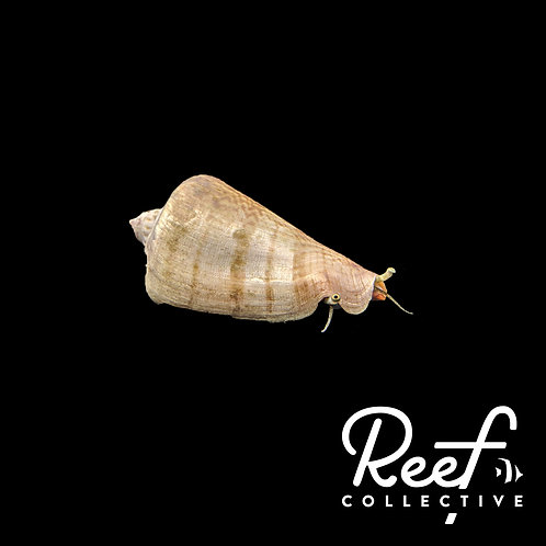 Strawberry Conch Snail