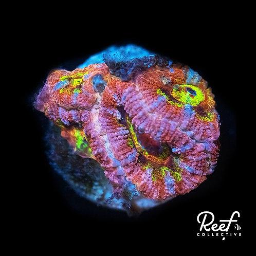 ReefCo. Dragonfruit Acan
