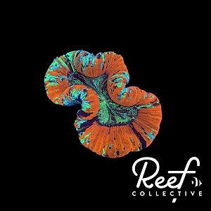 Coral13.jpg