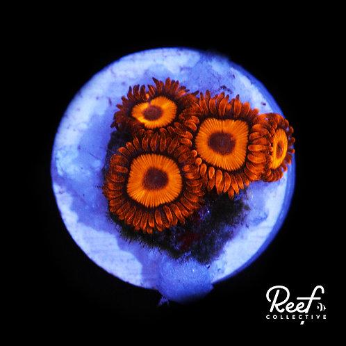 Orange Oxide Zoa