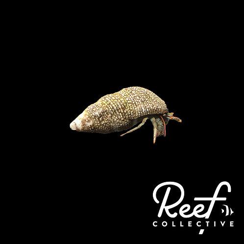 Red Leg Hermit Crab