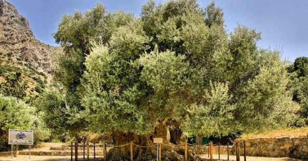 Monumental olive tree Kavousi, East Crete.