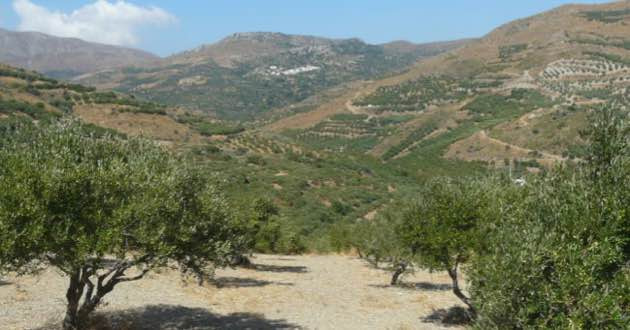 Organic olives groves in Sitia, East Crete.
