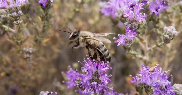 Honeybee using the beautiful wild Thyme flowers.