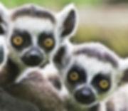 Lemurs in Crete