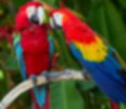 Parrots in Crete