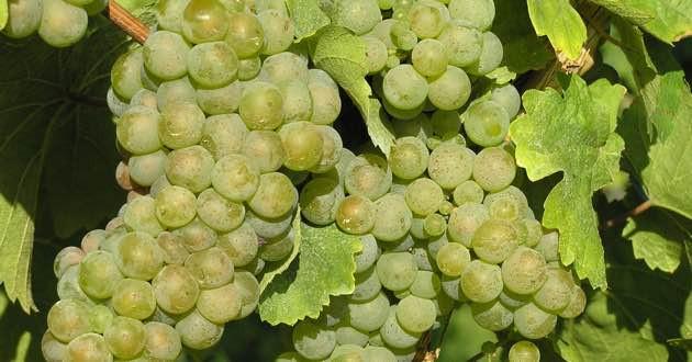 Grapes in East Crete