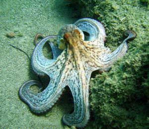 Octopus Eastern Crete