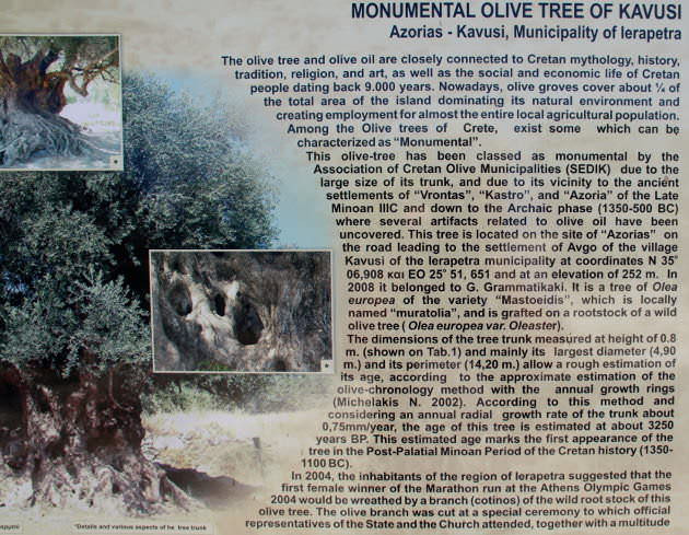 Info sign Kavousi ancient olive tree.