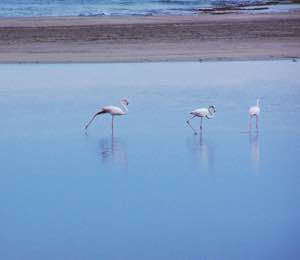 Flamingos in Xerokambos