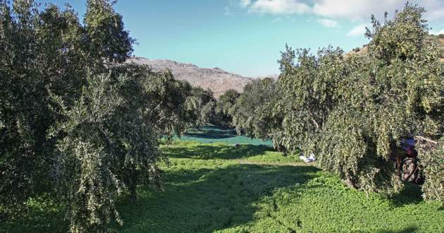Olive groves in East crete for Gaea olive oil.