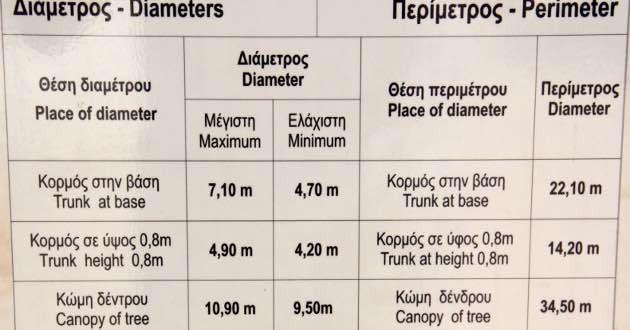 Dimensions monumental olive tree Kavousi.