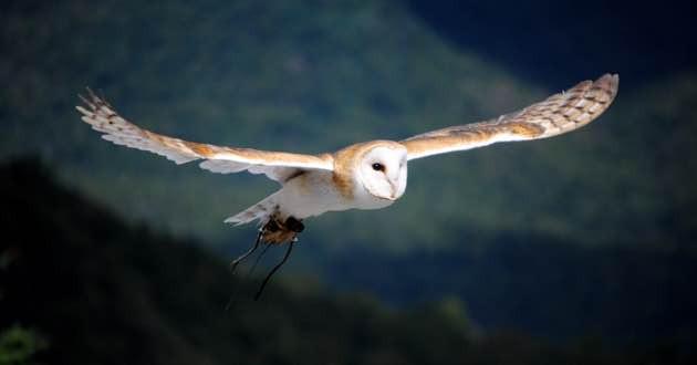 Flying Barn owl in East Crete.