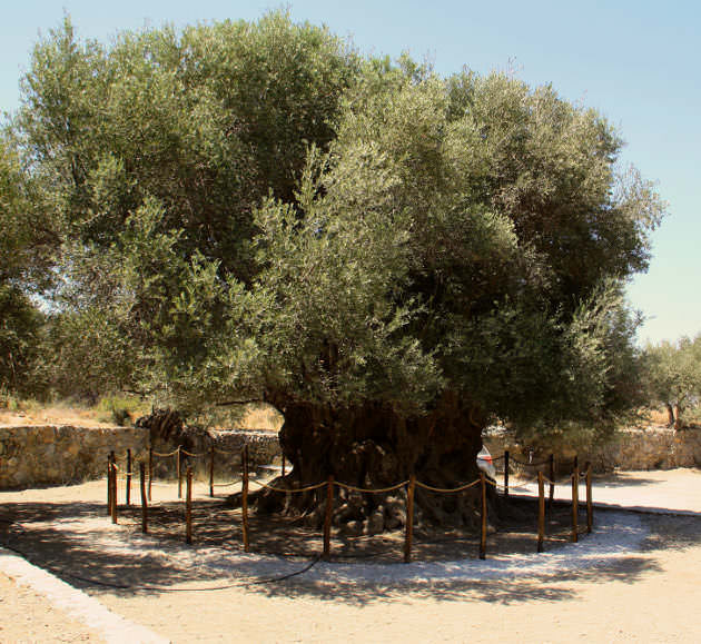 Ancient Olive tree in avows, East Crete.