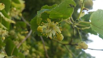 Tilleul, arbre de l'amour et ses secrets
