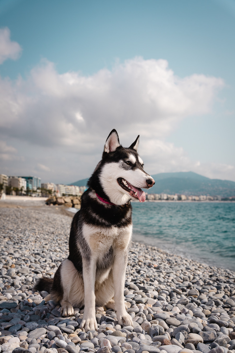 Husky Promenade des Anglais Nizza
