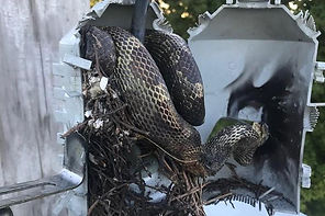 Large-snake-at-power-transformer-causes-