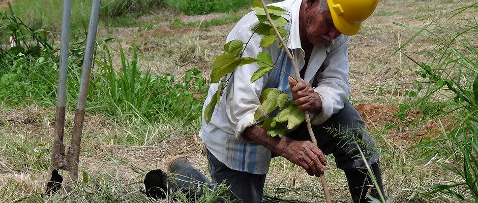 Plant et træ, Panama