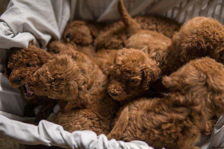 Red Poodle Pups 1-24-21-45.jpg