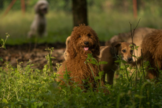 Red Poodle Pup