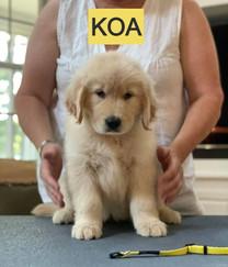 KOA Yellow girl