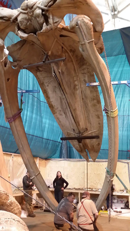 Under the skull of 'hope' the Blue whale skeleton