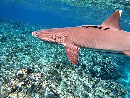 Shark3.png
