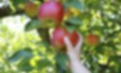 Fruit-pickingfromtree-iStock.jpg