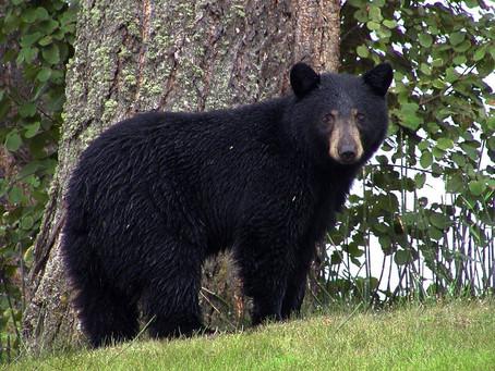 Facing Down 2020:   Bear Necessities