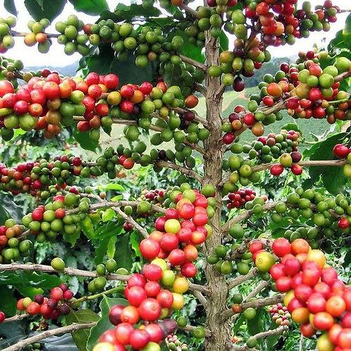 Guatemala - Huehuetenango 5lb
