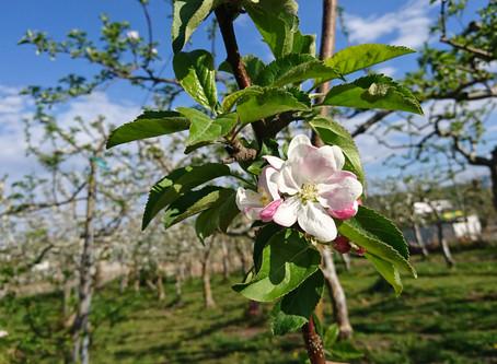 ままらいふの果実が開花中!