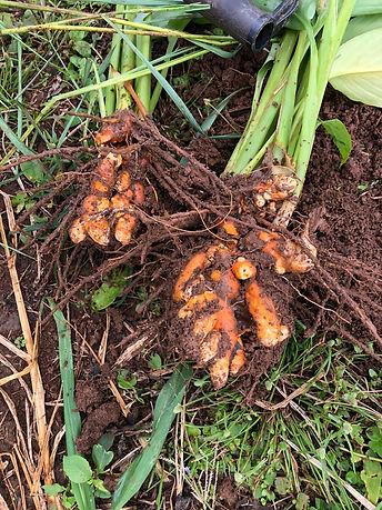 Organic Ginger.jpeg