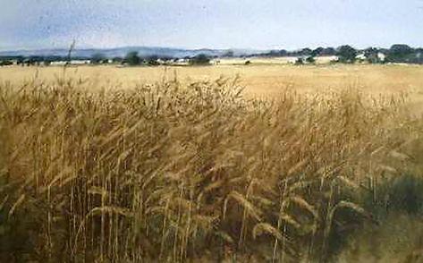 Barley Field Edge, The Mearns OPT.jpg