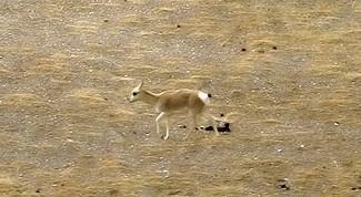 Antilopi tibetane - Attesa la nascita di 8000 esemplari