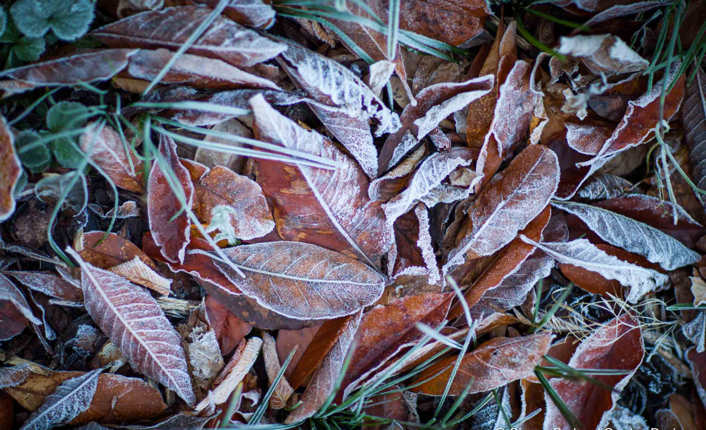 Leaves with hoar frost
