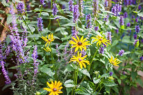 Agastache and Rudbeckia flowers.jpg