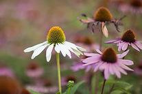 White and pink Echinacea.jpg